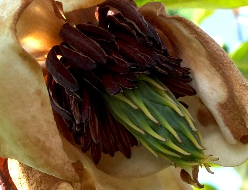magnolia wilsonii close-up of fading bloom