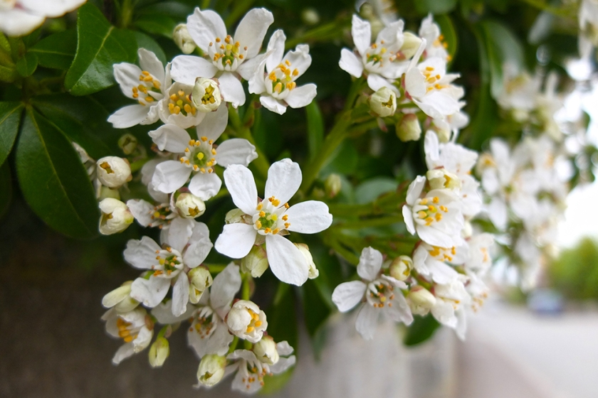 white ornamental blossom