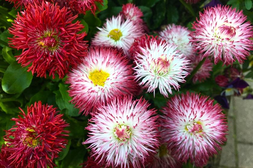 ornamental daisies