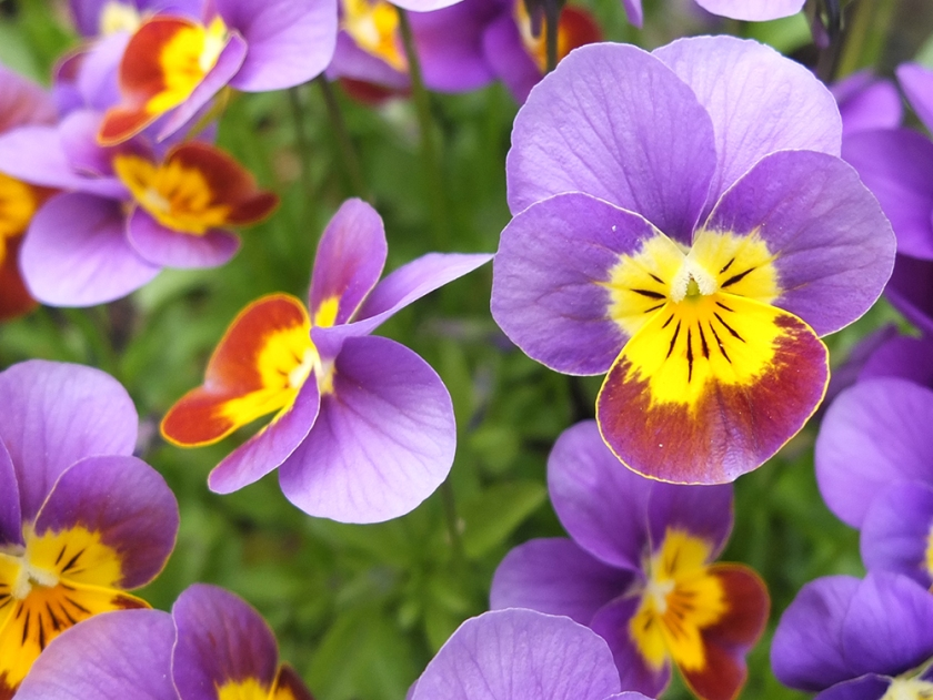 purple and yellow miniature pansies - or perhaps violas