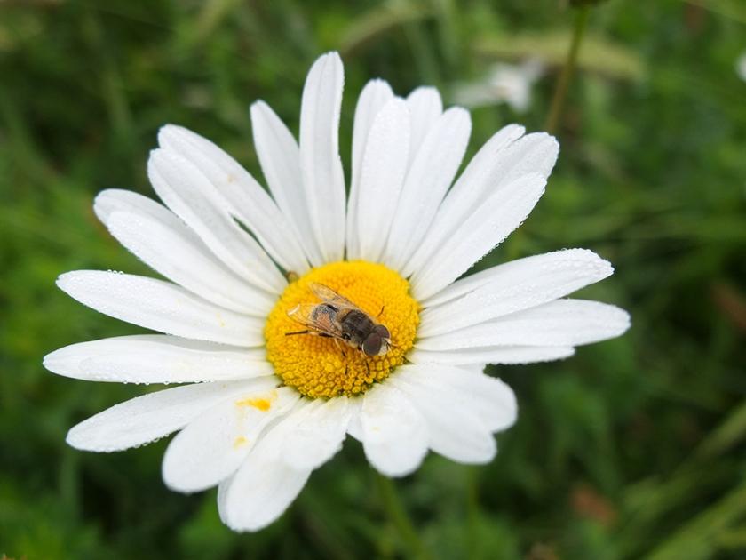 small bee on centre of moon daisy