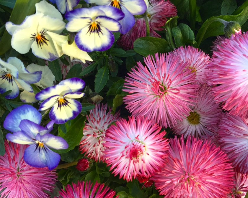 pansies and ornamental pink daisies