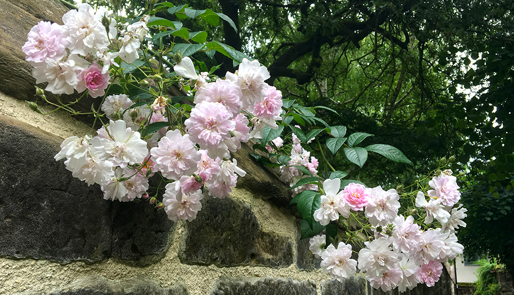 pale rambling rose and old stone wall