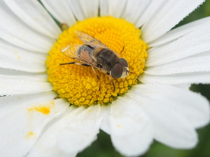 close up small bee on centre of moon daisy