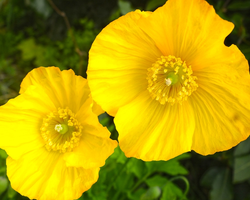 yellow welsh poppies