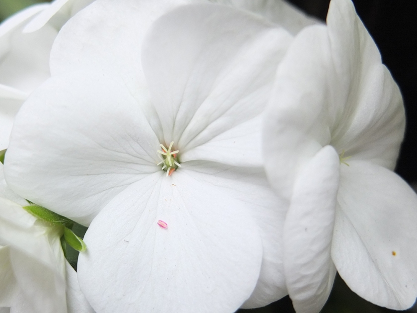 white geranium close up