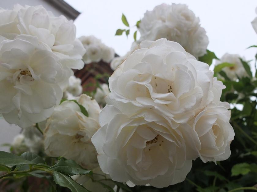 white rambling rose