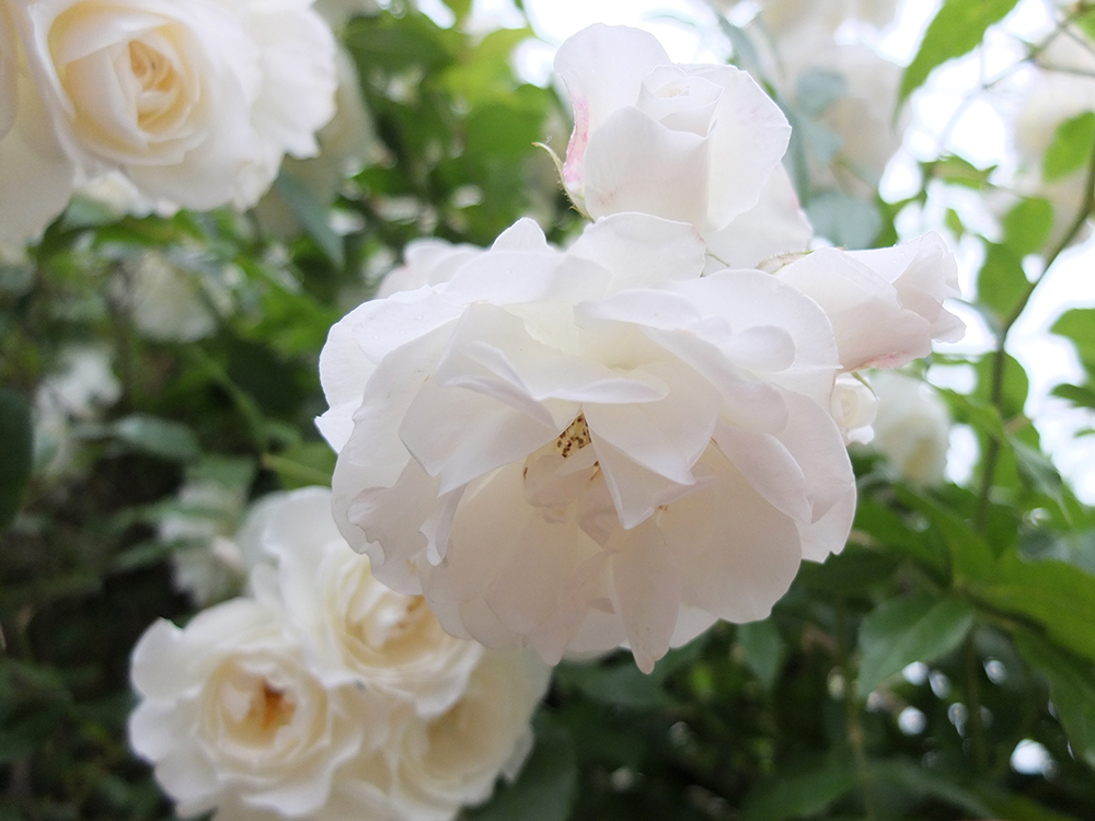 White Flowers Dont Confuse The Narrator