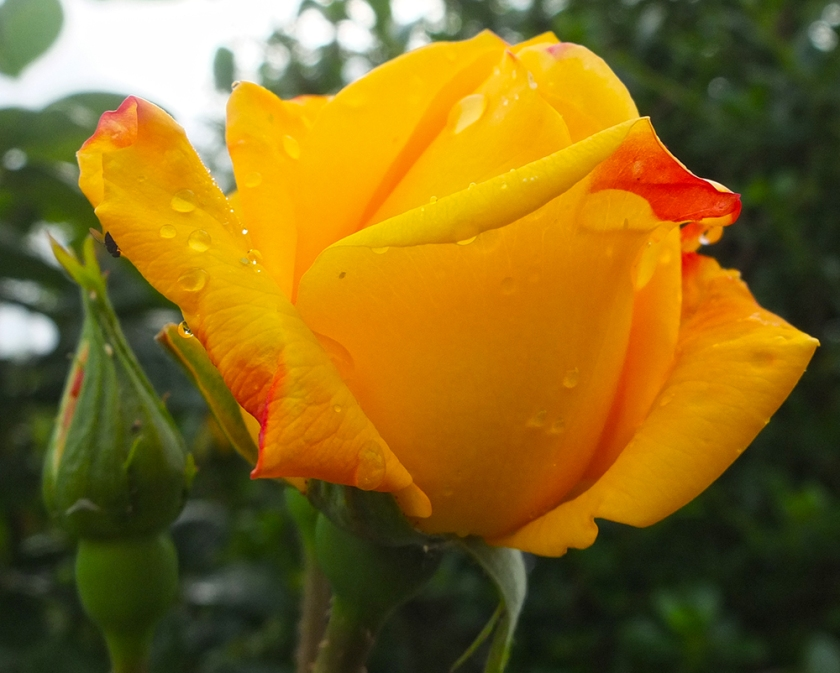 orange yellow rose bud