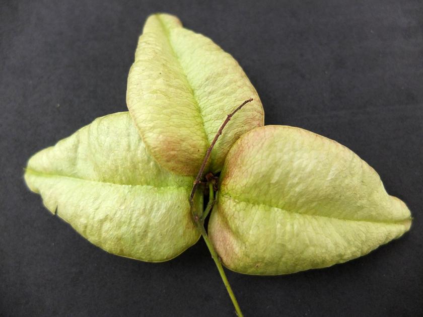 Koelreuteria paniculata / pride of India / golden rain tree.