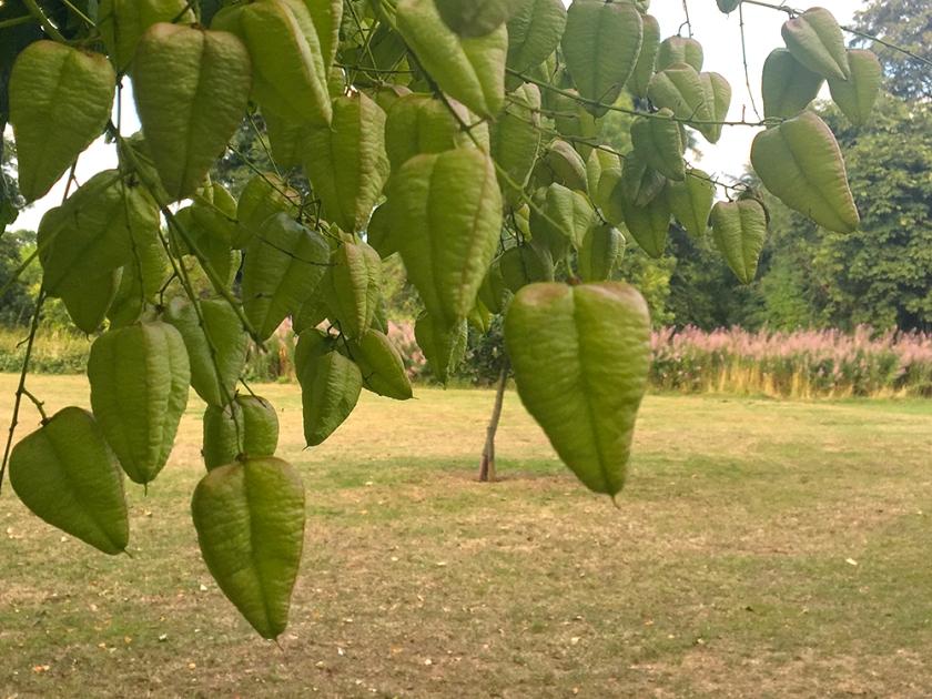 Koelreuteria paniculata seed pods