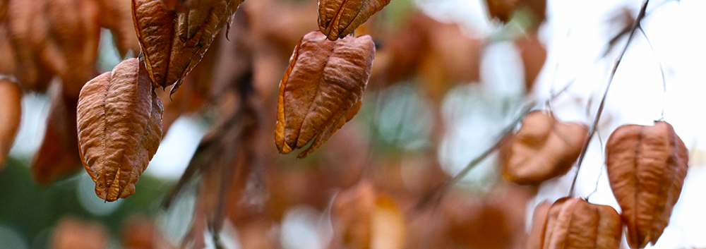 Pride of India tree - ripe seed pods - autumn