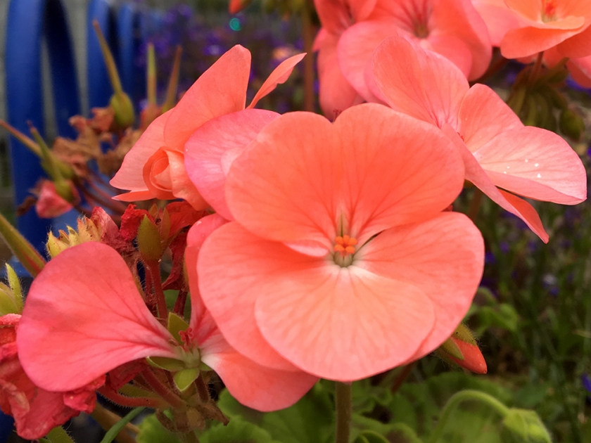 salmon pink geranium