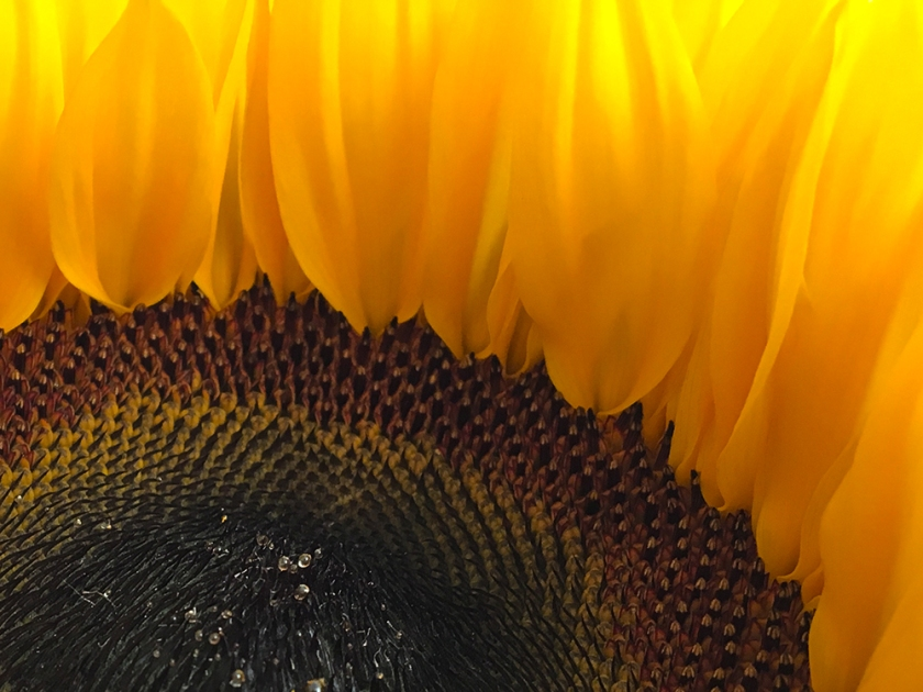 miniature sunflower close up