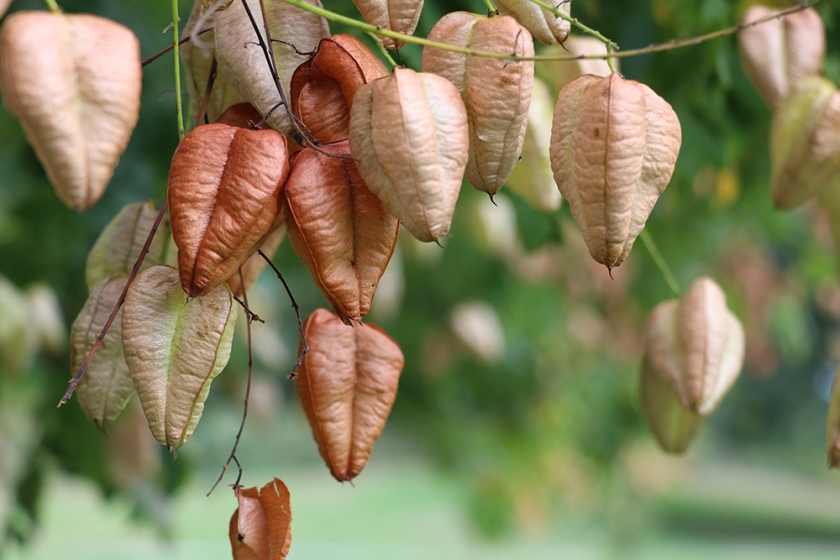 Pride of India tree - seed pods - early autumn