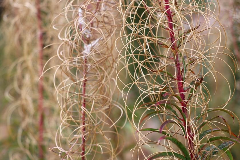 rosebay willow herb seeded stalks