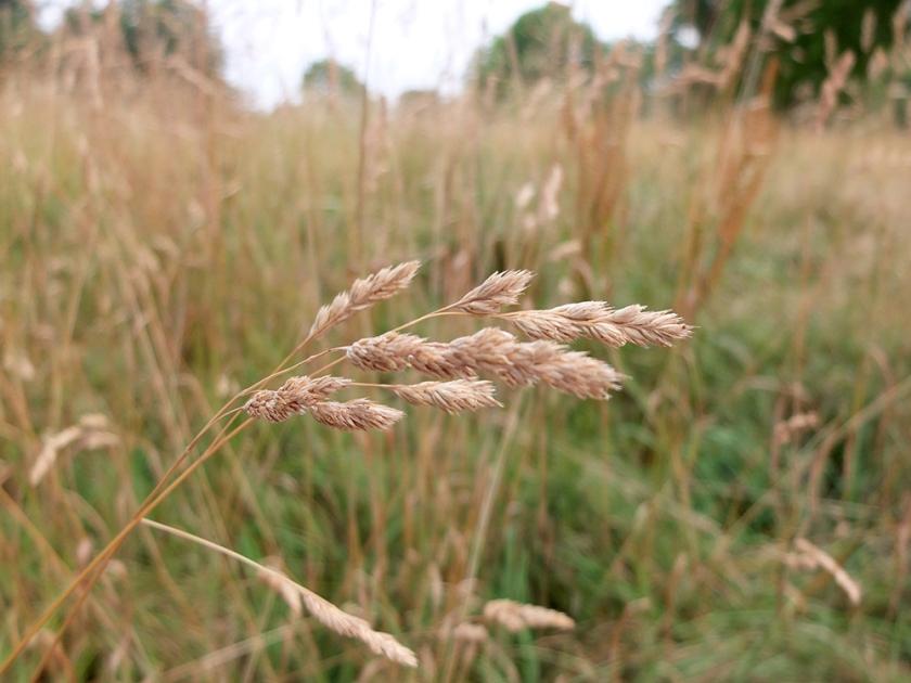 Long dry grasses