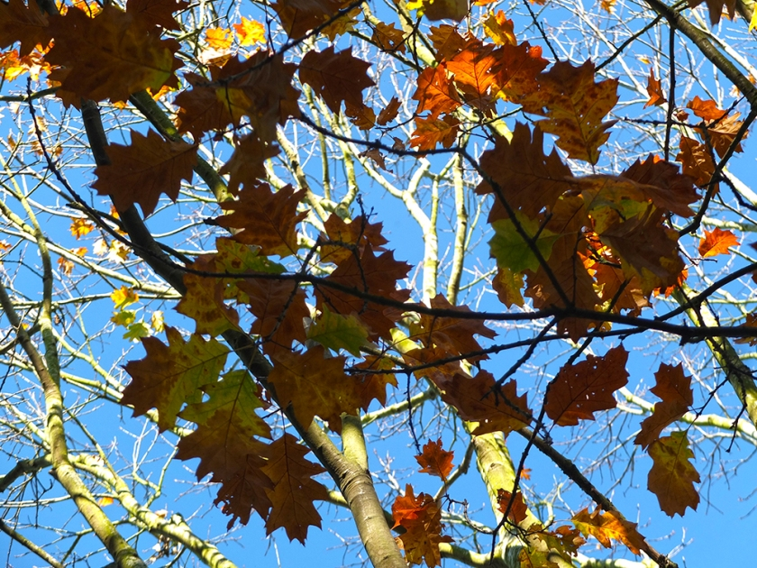 autumn oak leaves against blue sky