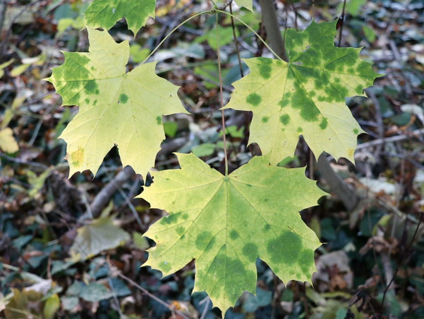 patchy green leaves in autumn