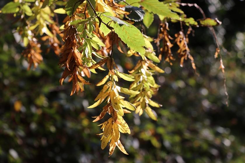 Hornbeam seeds turning colour