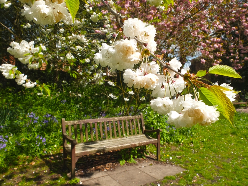 Wooden bench. White prunus blossom