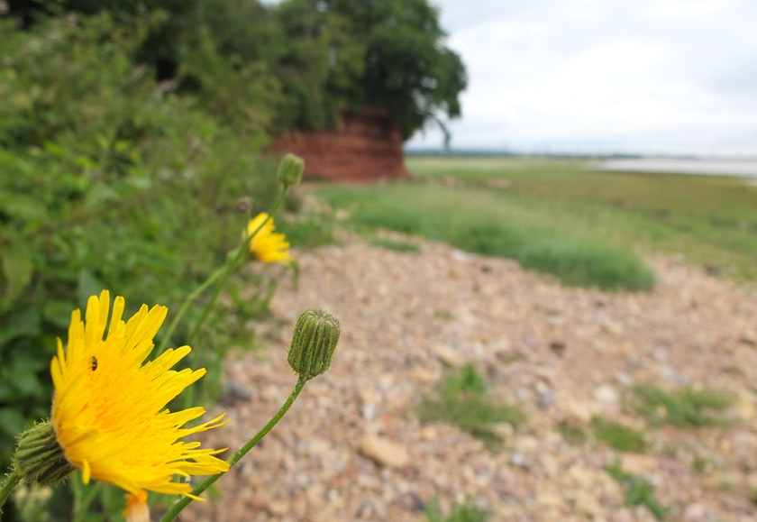 Severn Estuary foreshore. Black Rock. Dandelion. Looking towards old bridge