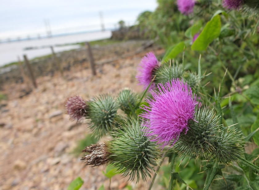 Severn Estuary foreshore. Black Rock. Thistle. Looking towards new bridge