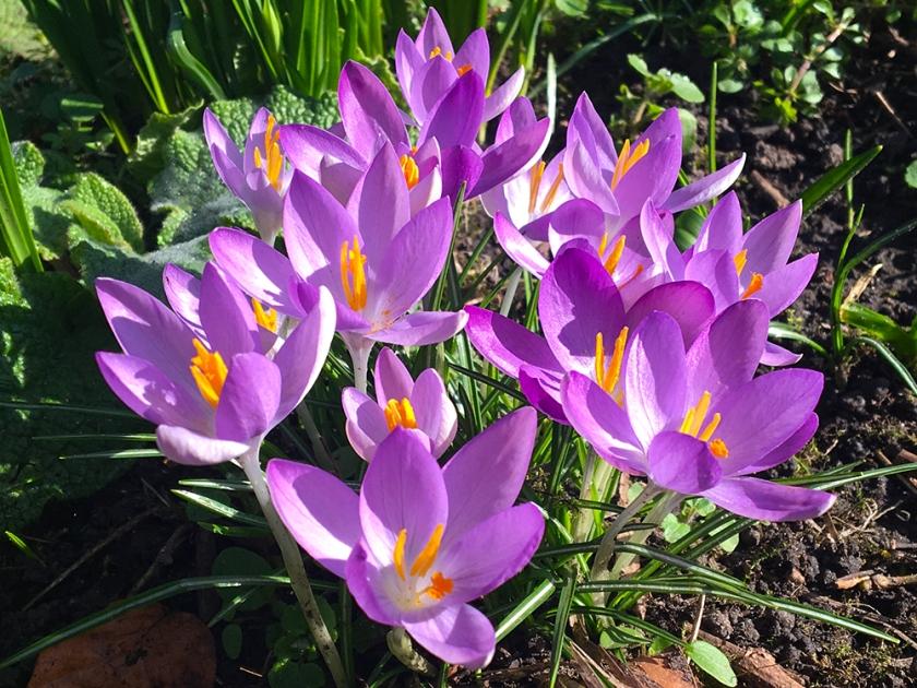 pale purple crocus flowers