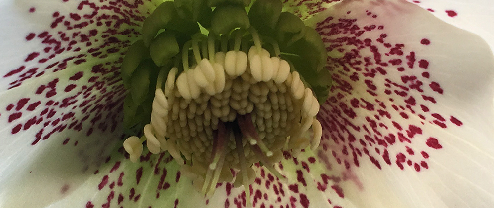 the crimson petal