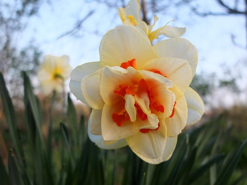 fasciated daffodil