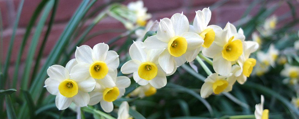 miniature, multiflowered daffodil