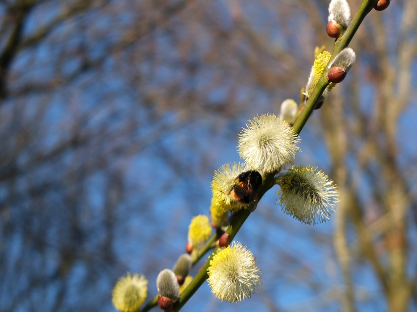 bumble bee on pussy willow