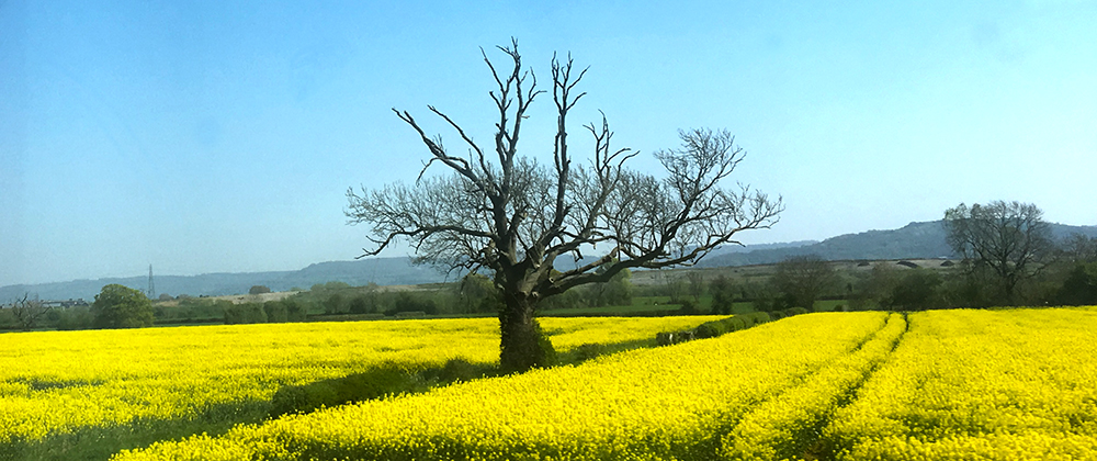 yellow field, dead tree.