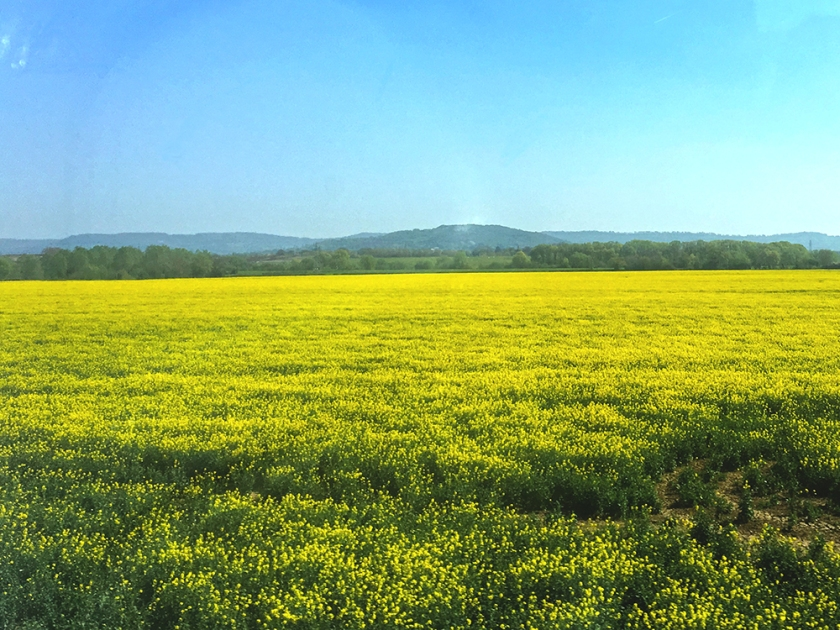 Yellow field. Rapeseed flowers. Canola