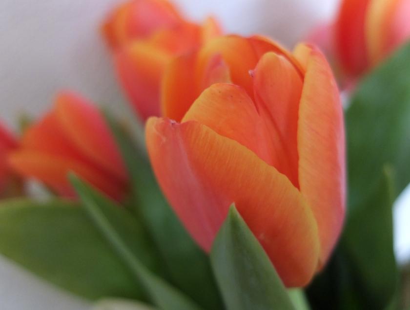 vermilion tulips