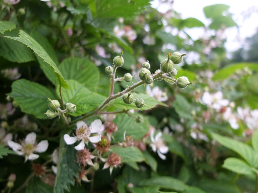bramble flower buds