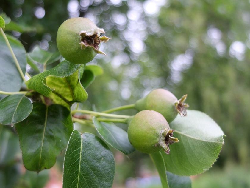 immature pears