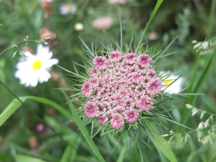 pink composite flower