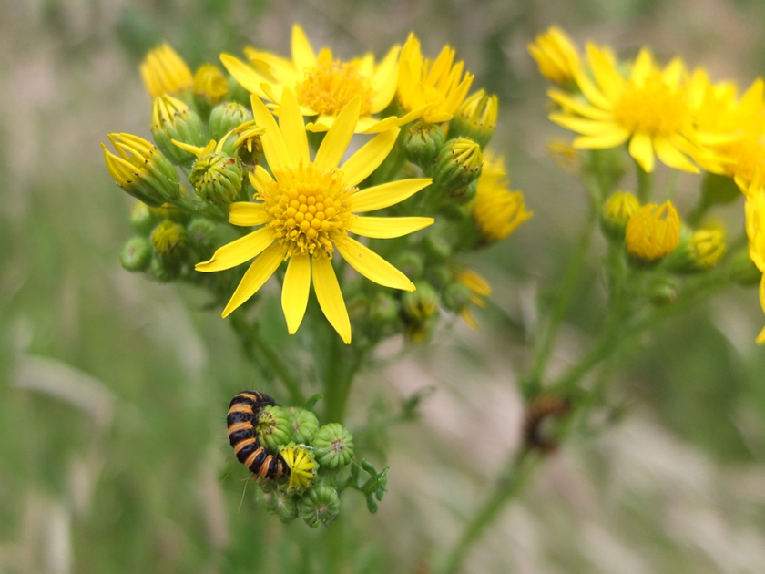 cinnabar moth caterpillar on ragwort.