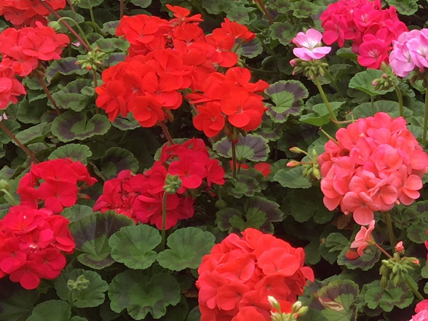 red and pink geraniums