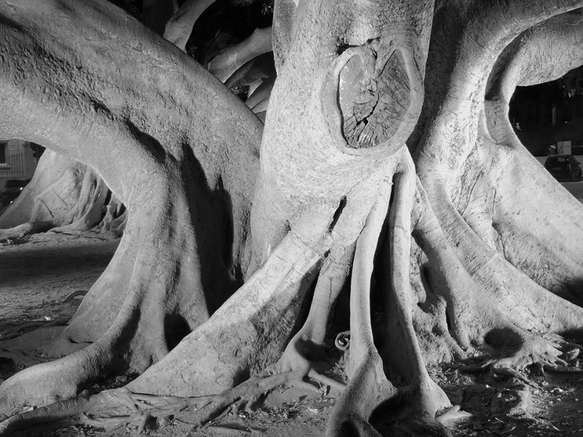 Ficus tree trunk