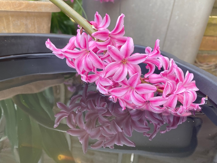 pink hyacinth with reflection in water bucket