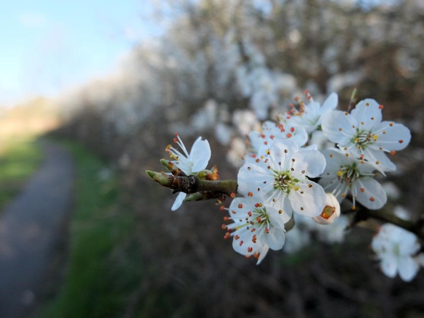 white blossom with path in background