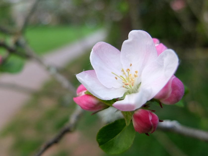 apple blossom with path in background