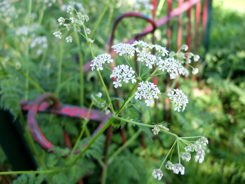 Queen Anne's lace and old iron fence