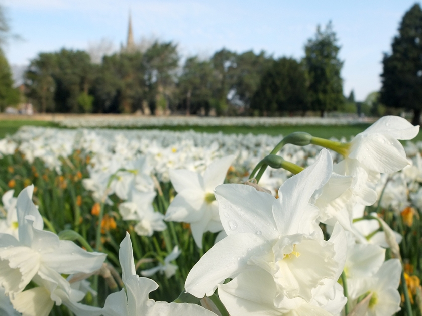 White daffodils with church spire in distance