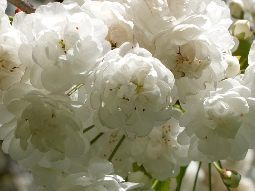 white frilly blossom