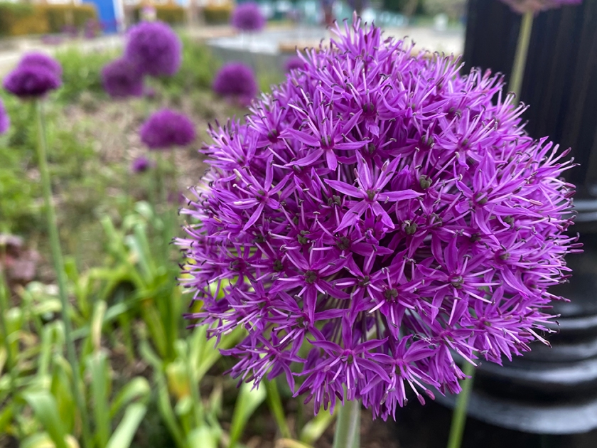 ornamental purple allium flower