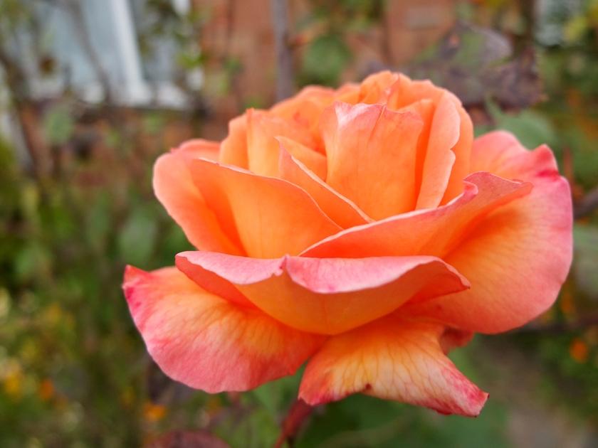 flame-coloured rose