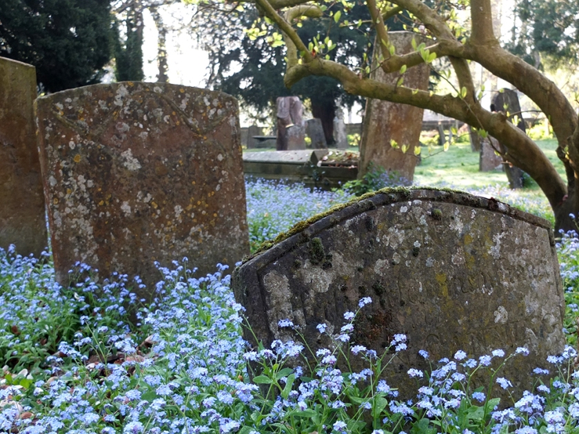 forget-me-nots and old tombstones